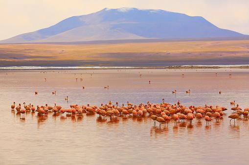 Bolivian Andes「Impressive Laguna colorada - Red lake reflection, Andean Flamingos birds and Idyllic Altiplano Atacama Desert, Volcanic landscape panorama – Potosi region, Bolivian Andes, Bolívia」:スマホ壁紙(0)