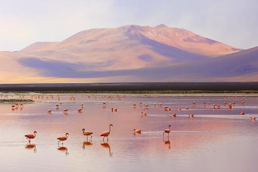 Bolivian Andes「Impressive Laguna colorada - Red lake reflection, Andean Flamingos birds and Idyllic Altiplano Atacama Desert, Volcanic landscape panorama – Potosi region, Bolivian Andes, Bolívia」:スマホ壁紙(9)