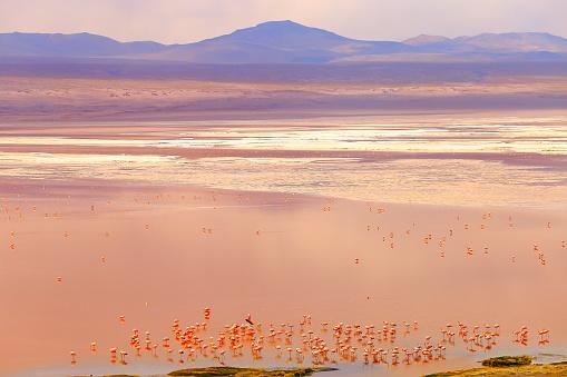 Bolivian Andes「Impressive Laguna colorada - Red lake reflection, Andean Flamingos birds and Idyllic Altiplano Atacama Desert, Volcanic landscape panorama – Potosi region, Bolivian Andes, Bolívia」:スマホ壁紙(18)