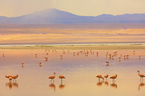 Bolivian Andes「Impressive Laguna colorada - Red lake reflection, Andean Flamingos birds and Idyllic Altiplano Atacama Desert, Volcanic landscape panorama – Potosi region, Bolivian Andes, Bolívia」:スマホ壁紙(13)