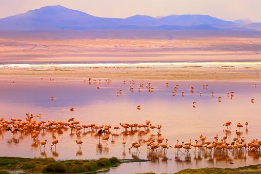 Bolivian Andes「Impressive Laguna colorada - Red lake reflection, Andean Flamingos birds and Idyllic Altiplano Atacama Desert, Volcanic landscape panorama – Potosi region, Bolivian Andes, Bolívia」:スマホ壁紙(10)