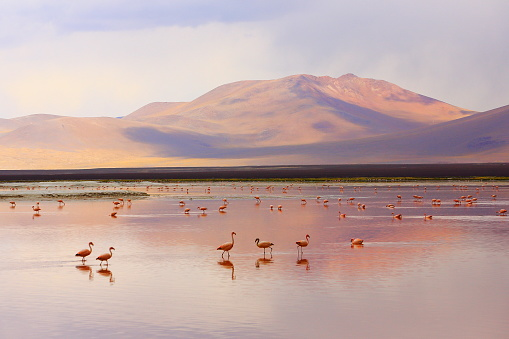 Bolivia「Impressive Laguna colorada - Red lake reflection, Andean Flamingos birds and Idyllic Altiplano Atacama Desert, Volcanic landscape panorama – Potosi region, Bolivian Andes, Bolívia」:スマホ壁紙(3)