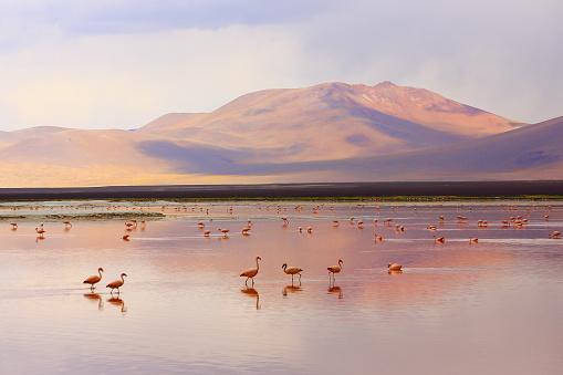 Travel「Impressive Laguna colorada - Red lake reflection, Andean Flamingos birds and Idyllic Altiplano Atacama Desert, Volcanic landscape panorama – Potosi region, Bolivian Andes, Bolívia」:スマホ壁紙(19)