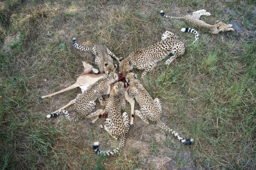 リン マニュエル ミランダ「Cheetahs (Acinonyx jubatus) feeding on antelope, overhead view」:スマホ壁紙(2)