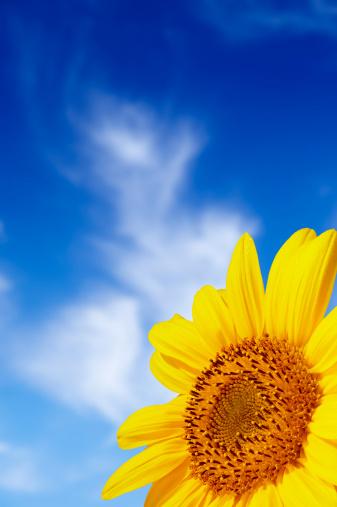 ひまわり「美しい黄色サンフラワー」:スマホ壁紙(4)