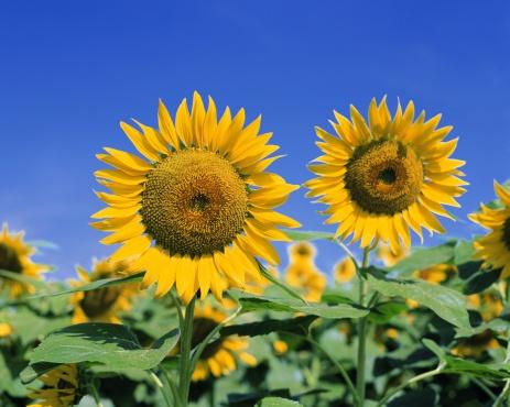 Flower Stigma「Beautiful yellow sunflowers on a sunny day」:スマホ壁紙(13)