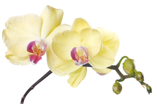 Health Spa「Beautiful yellow orchid on white background」:スマホ壁紙(3)