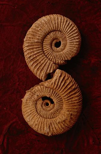 貝殻「Ammonite fossils on red textured background」:スマホ壁紙(19)