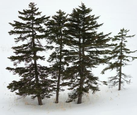 Needle - Plant Part「Fir-tree」:スマホ壁紙(3)