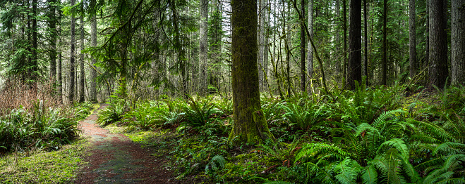 Wilderness Area「Douglas Fir Forest with Fern」:スマホ壁紙(8)