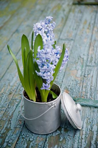 Teapot「Flower decoration, hyacinth in metal pot」:スマホ壁紙(9)