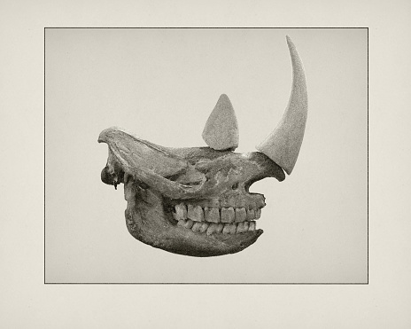 19th Century「Etching of Rhino skull」:スマホ壁紙(17)