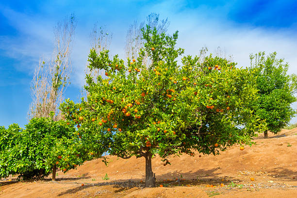California Citrus State Historic Park, Riverside:スマホ壁紙(壁紙.com)