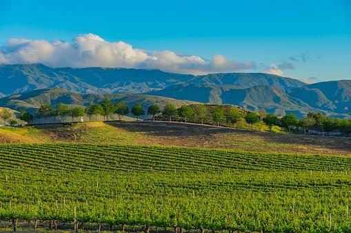 Farm「California spring vineyard in the Temecula Valley, CA」:スマホ壁紙(16)