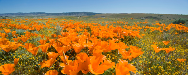 2008「USA, California, Antelope Valley, Golden poppies and wildflowers」:スマホ壁紙(14)