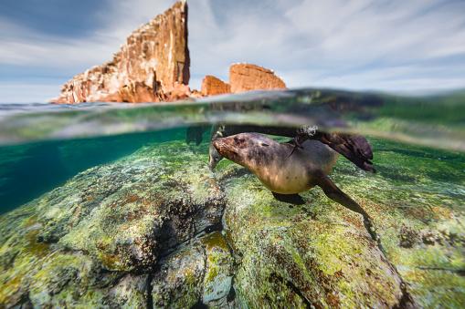 Sea Lion「California sea lions swimming underwater in blue ocean」:スマホ壁紙(11)