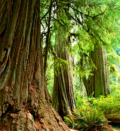 Humboldt Redwoods State Park「USA, California, redwood trees and Western sword ferns in forest」:スマホ壁紙(15)