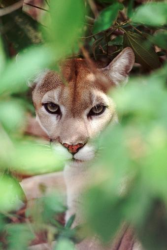 Watching「California puma」:スマホ壁紙(19)