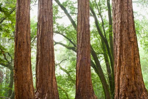 Durability「USA, California, Tree trunks in forest」:スマホ壁紙(9)