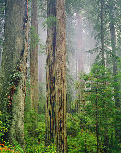 California Redwood Forest   (Pg):スマホ壁紙(壁紙.com)