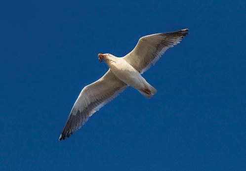 Cannon Beach「California gull in flight with nesting material.」:スマホ壁紙(14)