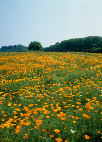 長瀞「California Poppy at Nagatoro Hana-no-sato, Nagatoro, Saitama, Japan」:スマホ壁紙(15)