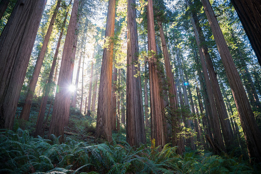 Redwood National Park「USA, California, Crescent City, Jedediah Smith Redwood State Park, Redwood trees against the sun」:スマホ壁紙(12)