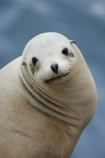 Sea Lion「California Sea Lion」:スマホ壁紙(5)