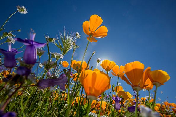 Nature「Sea Of Springtime Wildflowers Spreads Across Southern California」:写真・画像(1)[壁紙.com]
