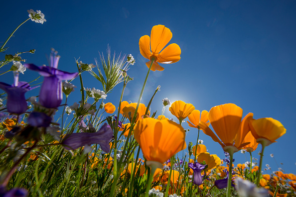 flower「Sea Of Springtime Wildflowers Spreads Across Southern California」:写真・画像(11)[壁紙.com]