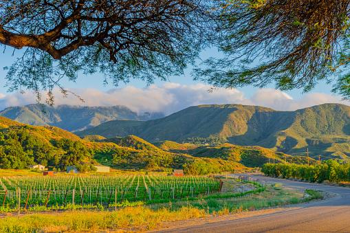 生い茂る「ブドウ (P) の行で夕暮れ時にカリフォルニアのワイナリー」:スマホ壁紙(1)