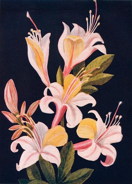 Wildflower「California Azalea,  c1915, (1915)」:写真・画像(17)[壁紙.com]