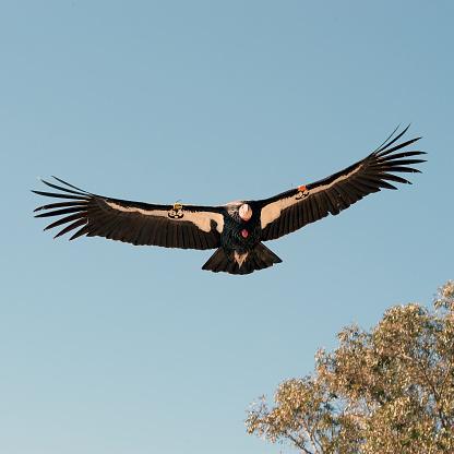 Big Sur「California condor in Big Sur, California」:スマホ壁紙(15)