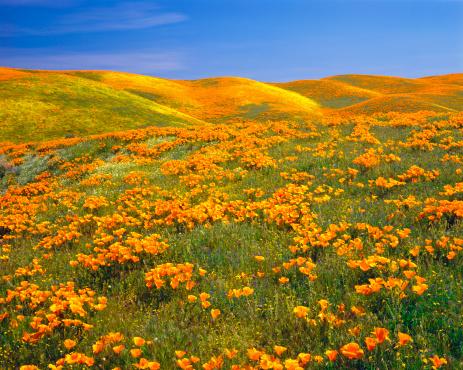 花畑「カリフォルニアのゴールド Poppies」:スマホ壁紙(11)