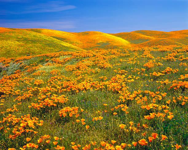 カリフォルニアのゴールド Poppies:スマホ壁紙(壁紙.com)