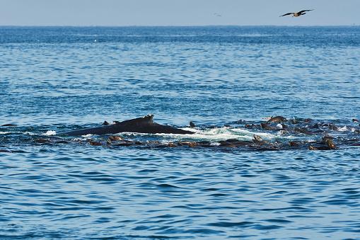 Birds「California sea lion (Zalophus californianus) and Humpback Whale (Megaptera novaeangliae)」:スマホ壁紙(19)