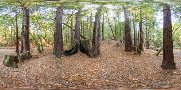 Sequoia Tree「California woods Equirectangular Panorama」:スマホ壁紙(6)