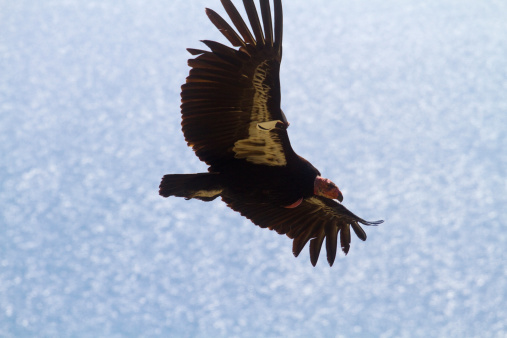Big Sur「California Condor at Big Sur, California」:スマホ壁紙(13)