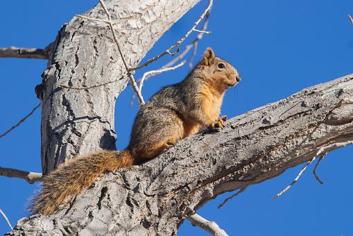 Tree Squirrel「USA, California, Fox squirrel (Sciurus niger)」:スマホ壁紙(17)