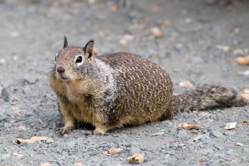 リス「California ground squirrel」:スマホ壁紙(13)