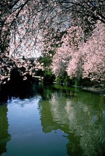 Cherry Blossom「USA, California, San Francisco, Palace of Fine Arts」:スマホ壁紙(12)
