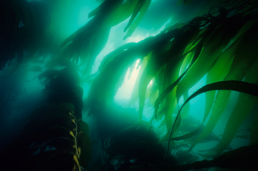 Algae「California Kelp Forest」:スマホ壁紙(11)