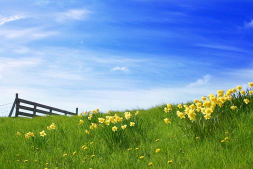 Daffodil「Sunshine Landscape」:スマホ壁紙(15)