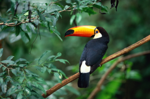 Beak「Toco toucan (Ramphastos toco) perched on branch, Brazil」:スマホ壁紙(19)