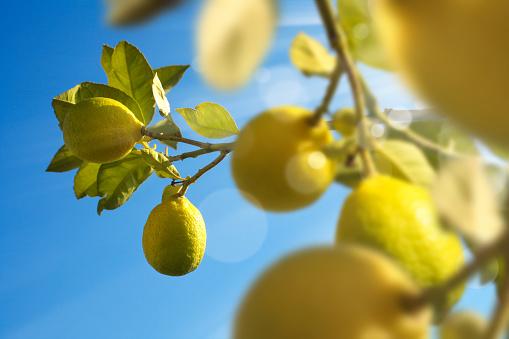 Grove「close up lemon tree with fresh lemons」:スマホ壁紙(0)