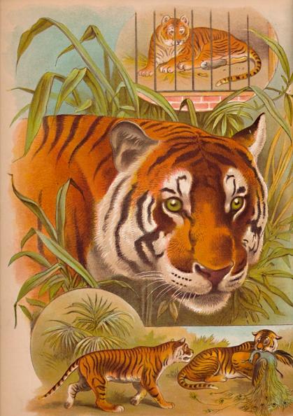 Big Cat「The Tiger Circa 1900」:写真・画像(8)[壁紙.com]