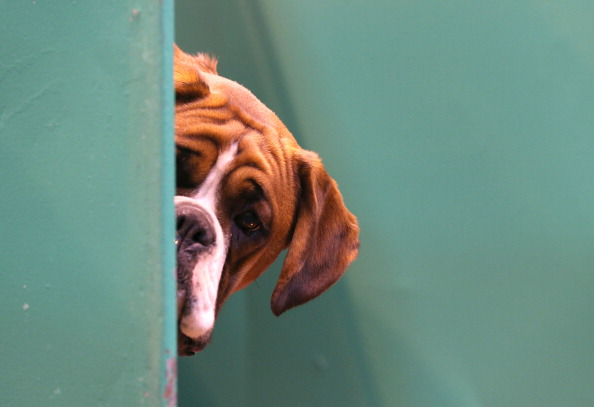 Looking「Dogs And Owners Gather For 2014 Crufts Dog Show」:写真・画像(12)[壁紙.com]