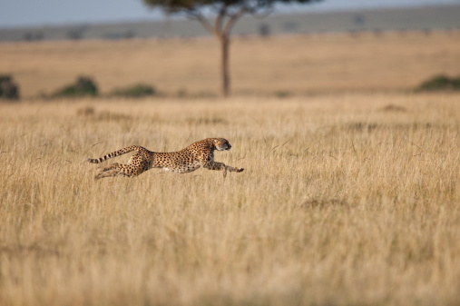 Masai Mara National Reserve「Cheetah (Acinonyx Jubatus)  female at speed, Masai Mara, Kenya, Africa」:スマホ壁紙(19)