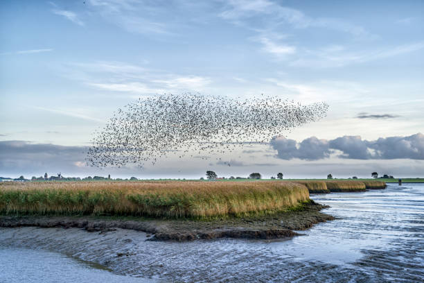 Flock of starlings over river Ems, Pektum, East Frisia, lower Saxony, Germany:スマホ壁紙(壁紙.com)