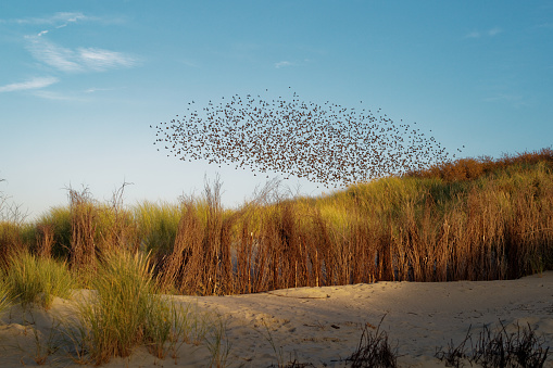 Flock Of Birds「A flock of starlings flying over beach at sunset, Juist, Lower Saxony, Germany」:スマホ壁紙(7)
